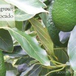 How to Grow Avocado #australia #tree #fruit #garden www.aboutthegarden.com.au