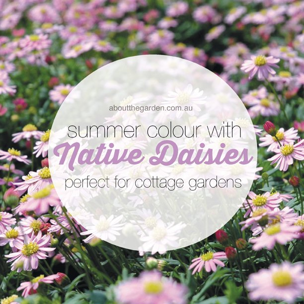 ummer colour with native daisies #flower #native #summer #aboutthegarden