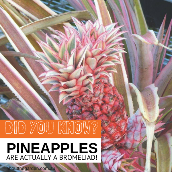 Did you know pineapples are actually a bromeliad