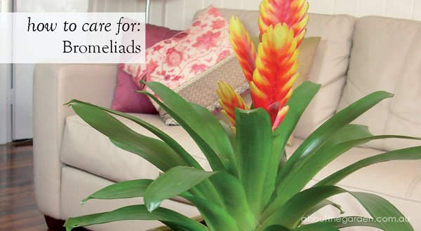 How to care for bromeliads about the garden about the for Easy to care for flowers outdoor