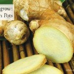 How to Grow Ginger in a pot www.aboutthegarden.com.au
