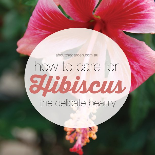 How To Care For Hibiscus About The Garden Magazine
