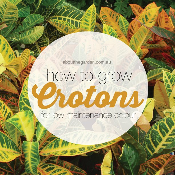How to grow crotons for low maintenance colour #tropical #plant #garden aboutthegarden.com.au