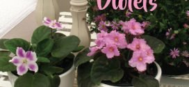 How to Grow African Violets (Saintpaulias)