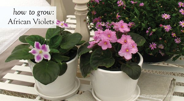 how to grow African Violets #garden #indoor #pot #flower #aboutthegarden