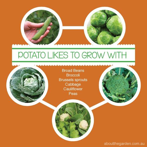 Companion Vegetable Garden Planting with Potato Australia #aboutthegarden.com.au