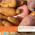 How to grow potato the super tuber