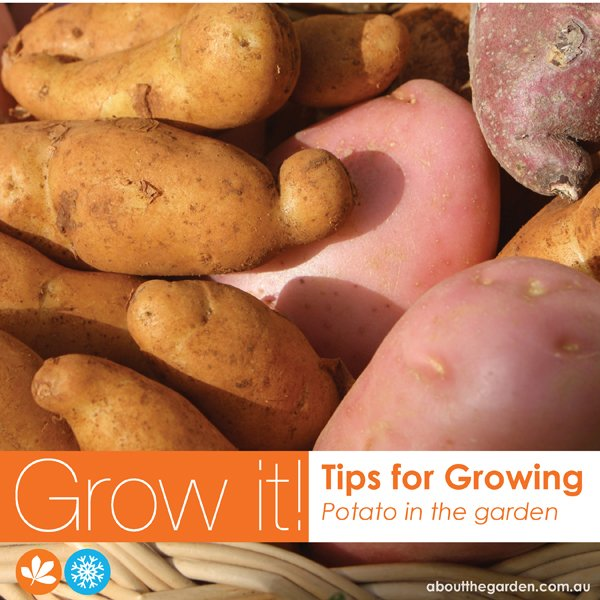 How to grow potato the super tuber
