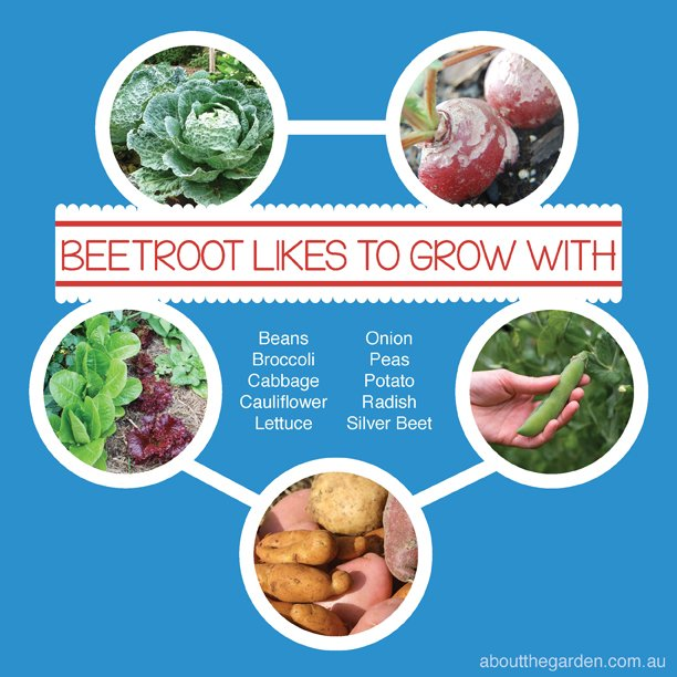 Companion-Vegetable-Garden-Planting-with-Beetroot-Australia-