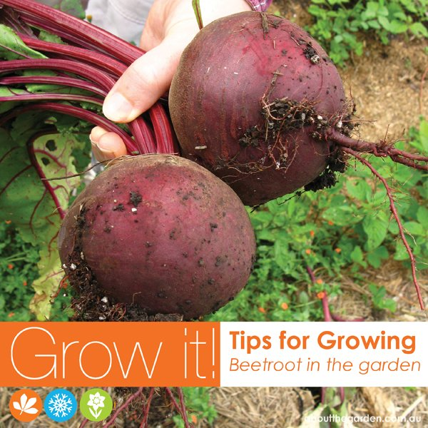 Growing Australian Native Plants: How To Grow Beetroot