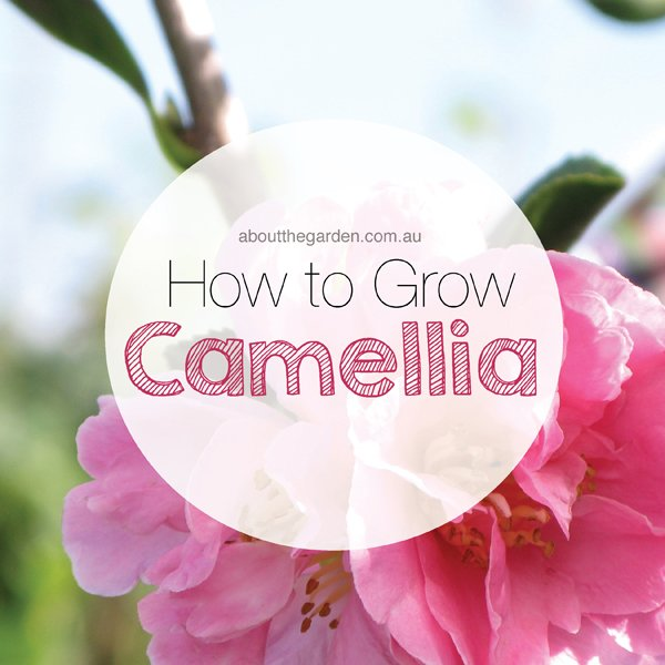 how to grow camellia japonica