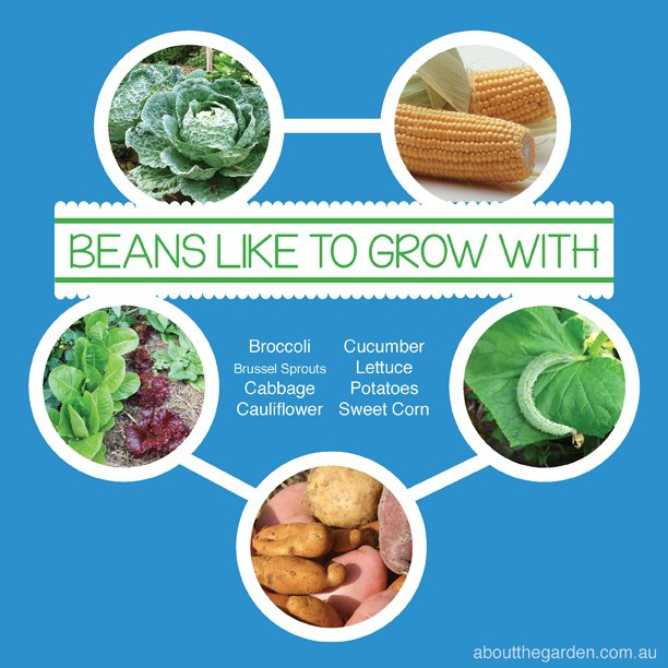 Companion planting in the vegetable garden is a great way to decrease pest and diseases. Try these bean friends!
