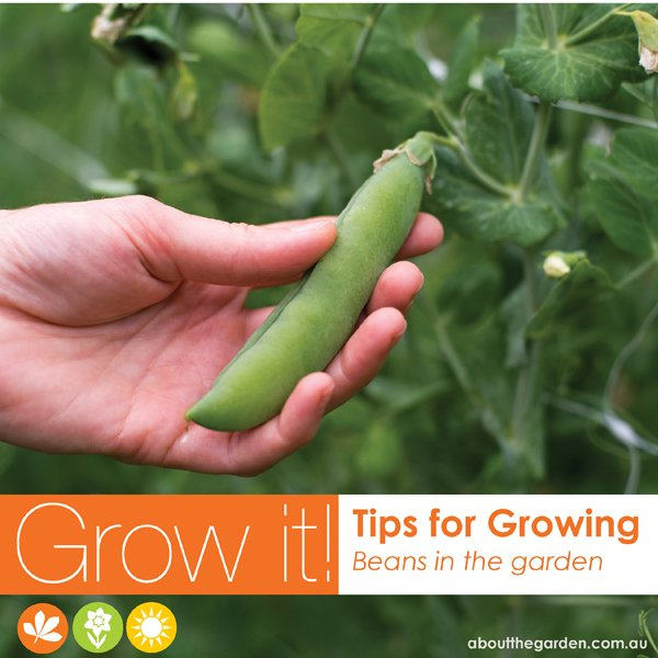 Growing beans in Australia vegetable garden