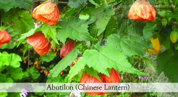 australia easy care winter colour abutilon lantern poinsettia euphorbia