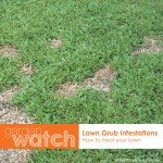 Garden Watch Treating Lawn Grub Infestations