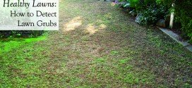Healthy Lawns How to Detect Lawn Grubs
