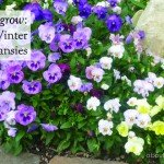 How to grow pretty winter pansies #flowers #colour #pasy #winter #aboutthegarden