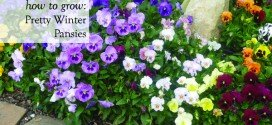 How to Grow Pretty Winter Pansy