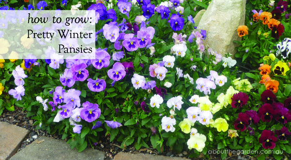 How to grow pretty winter pansy flowers for winter for Plants to grow in garden