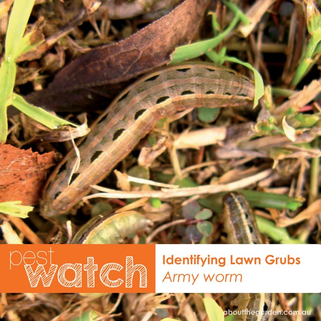 Pest Watch identifying lawn grubs army worm