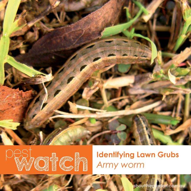 Pest Watch identifying lawn grubs army worm