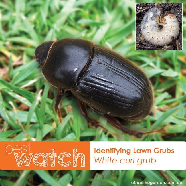 Pest Watch identifying lawn grubs white curl grub