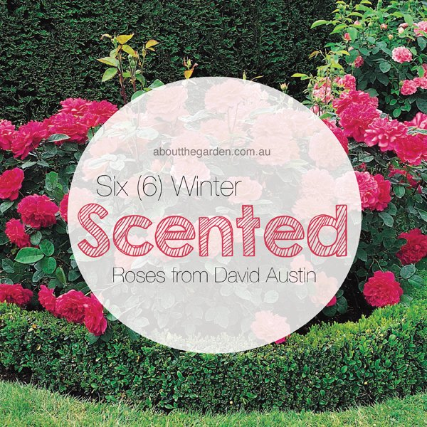 Six (6) winter scented roses by david austin about the garden magazine