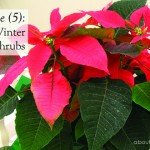 five 5 small winter flowering shrubs Australia #poinsettia #chineselanterns #leptospermum #aboutthegarden