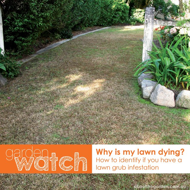how to indentify if you have a lawn grub infestation