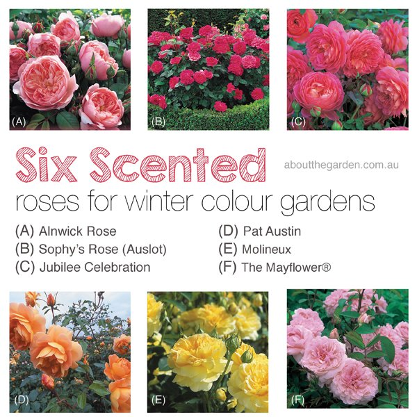 six scented roses for winter colour gardens winter flower garden about the garden