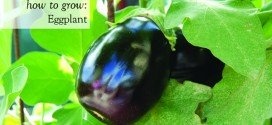 Growing Eggplant (Aubergine) – egg plant from the garden