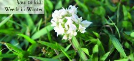clover and most lawn grass weeds need to be treated in winter