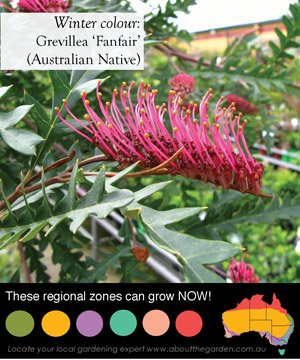 grevilleas have lovely flowers throughout the winter months some in pink