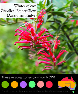 beautiful red flowered australian native that is a small shrub and makes a great native hedge