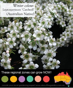 a small australian native shrub with white flowers that flowers during the winter months