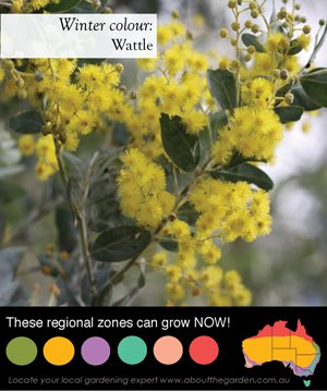 the australian wattle is the national floral symbol for australia