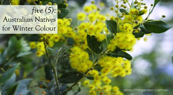 5 five Australian Natives Plants Flowers for Winter Colour ...