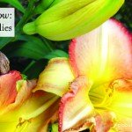 how to grow daylilies www.aboutthegarden.com.au