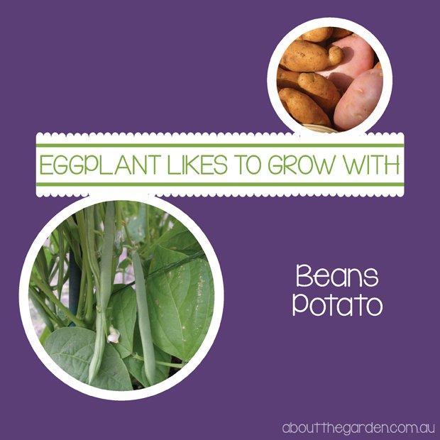 Eggplant companion growing guide