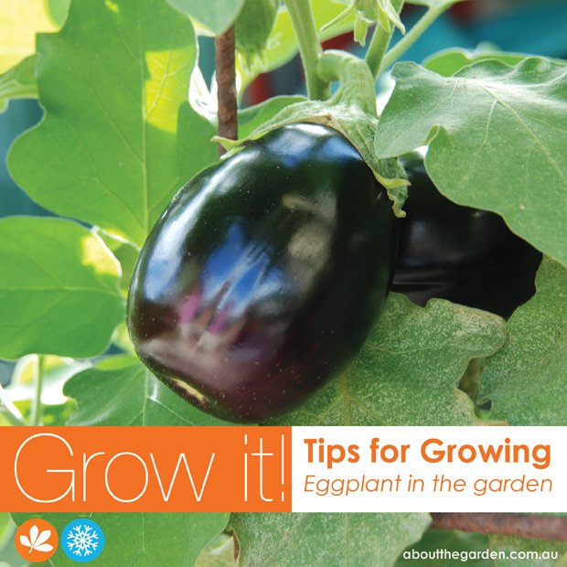 Growing eggplant in the garden about the garden magazine
