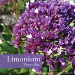 Limonium Perezii Blue is a purple flower for the winter gardening