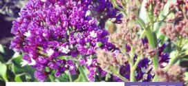 Three hardy purple flowers for winter gardens in australia #gardeningaustralia #aboutthegarden #winter