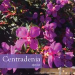 centradenia with purple flowers great drought tolerant plant #gardeningaustralia www.aboutthegarden.com