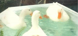 A-Duck-Pond-use-recycled-materials-to-build-a-duck-oasis-in-the-garden