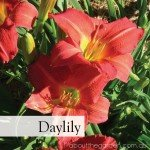 Daylily number 3 best Flowers to Plant in Spring