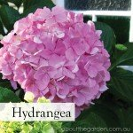 Hydrangea-best-Flowers-to-Plant-in-Spring-gardeningaustralia-www.aboutthegarden.com_.jpg