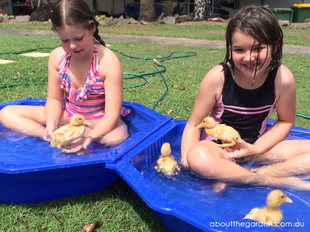 baby ducklings in a plastic kids pool playing with children