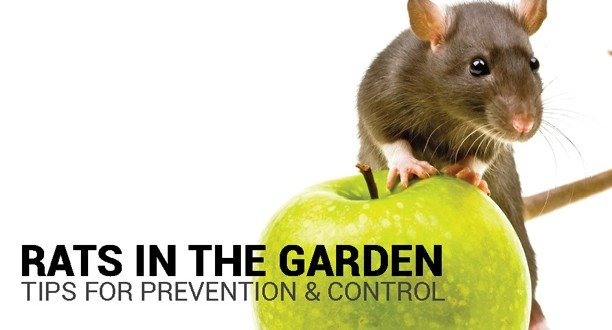 preventing and controlling rats in the garden about the