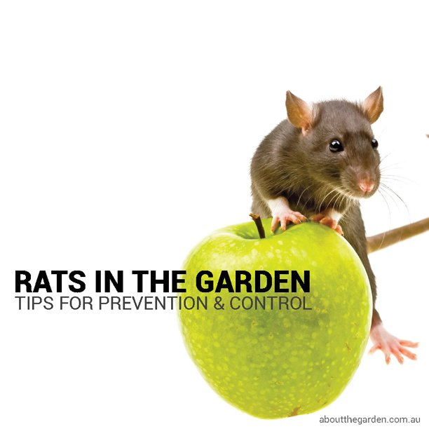 How to get rid of fruit rats the best rat of 2018 for Gardening 101 australia