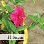 hibiscus number 3 best Flowers to Plant in Spring #gardeningaustralia www.aboutthegarden.com